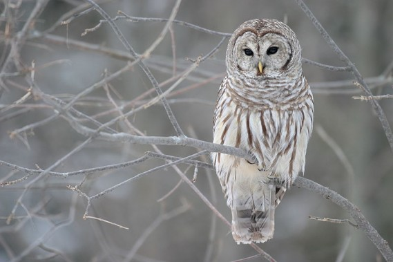 Barred Owl by Mdf/Wikimedia Commons