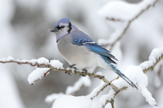 Blue Jay by Mdf/Wikimedia Commons