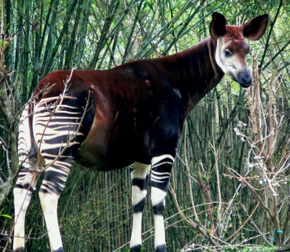 Okapi ~ image found on Pintrest