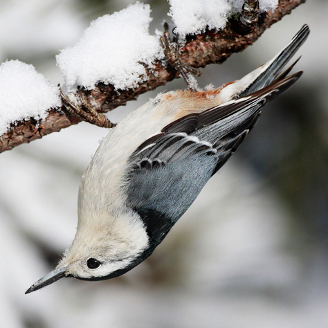 White-breasted Nuthatch by Mdf/Wikimedia Commons
